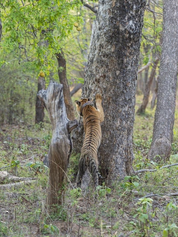 Tigresse Choti tara avec Radioncollar s'étendant sur l'arbre chez Tadoba Andhari Tiger Reserve, maharashtra, Inde image stock