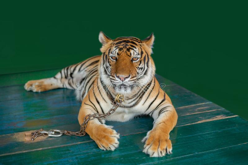 Tigri di Bengala incatenate sulle tavole di legno per i turisti fotografie stock