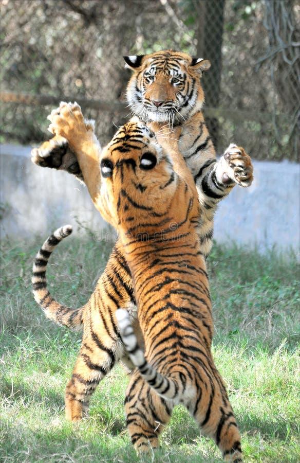 Tigri di combattimento fotografie stock