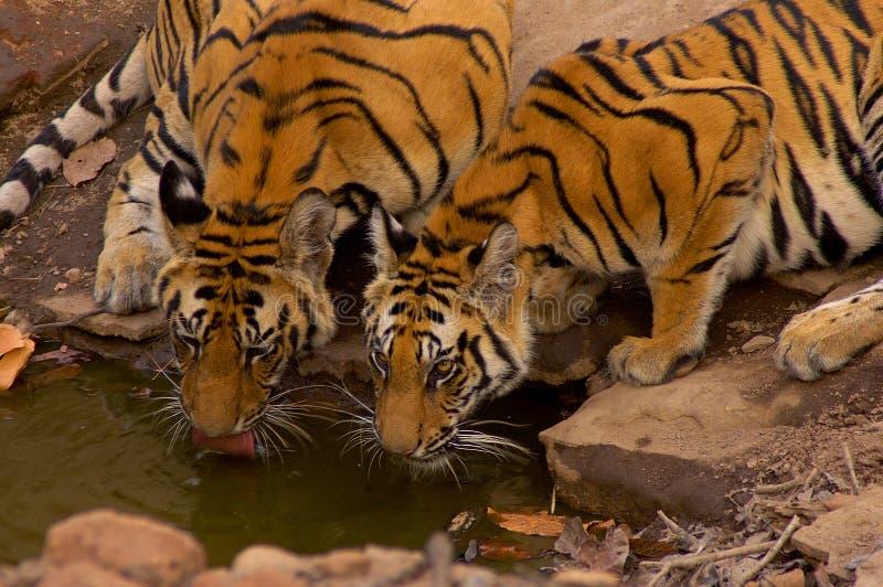 Tigri su waterhole fotografie stock