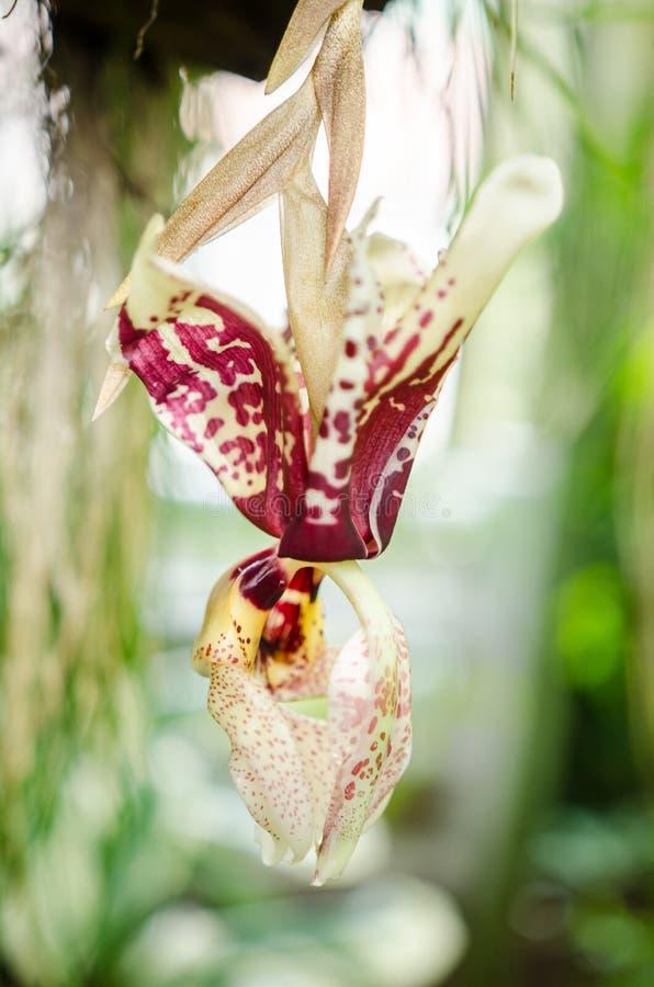Tigrina-orquídea de Stanhopea imagem de stock