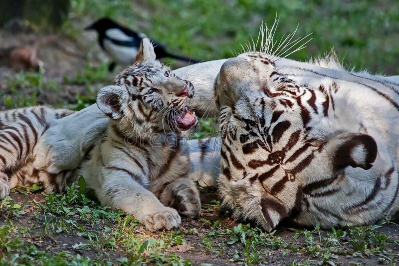Tigrinna och gröngöling Den vita tigern är en individ av den Bengal tigern med en medfödd mutation fotografering för bildbyråer