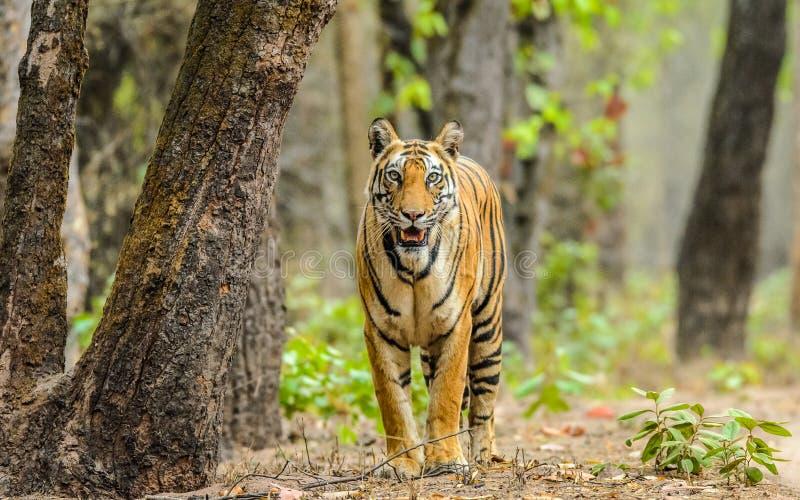 Tigrinna och träd royaltyfri fotografi