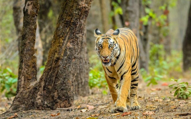 Tigrinna och träd fotografering för bildbyråer