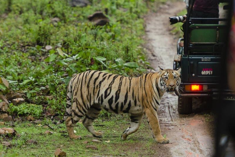Tigrinna som korsar skogslingan bak safari som är vehical på maharashtraen för Tadoba tigerreserv, Indien royaltyfria foton