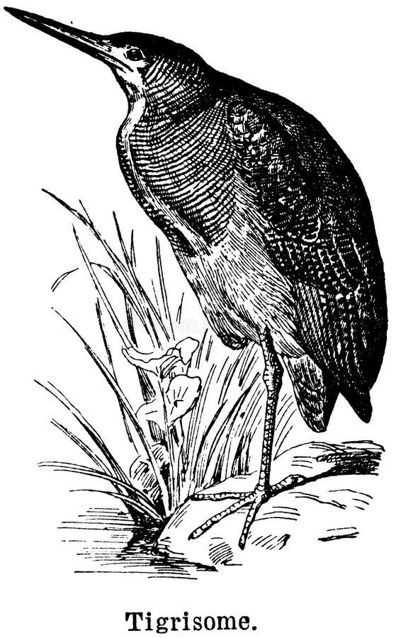 Tigrisome Free Public Domain Cc0 Image