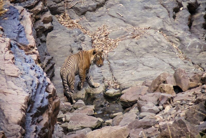 Tijger bij het Nationale Park van Ranthambore stock foto