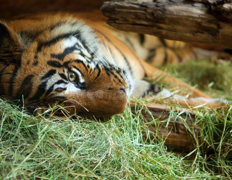 Tijger in de dierentuin van San Diego. royalty-vrije stock afbeelding