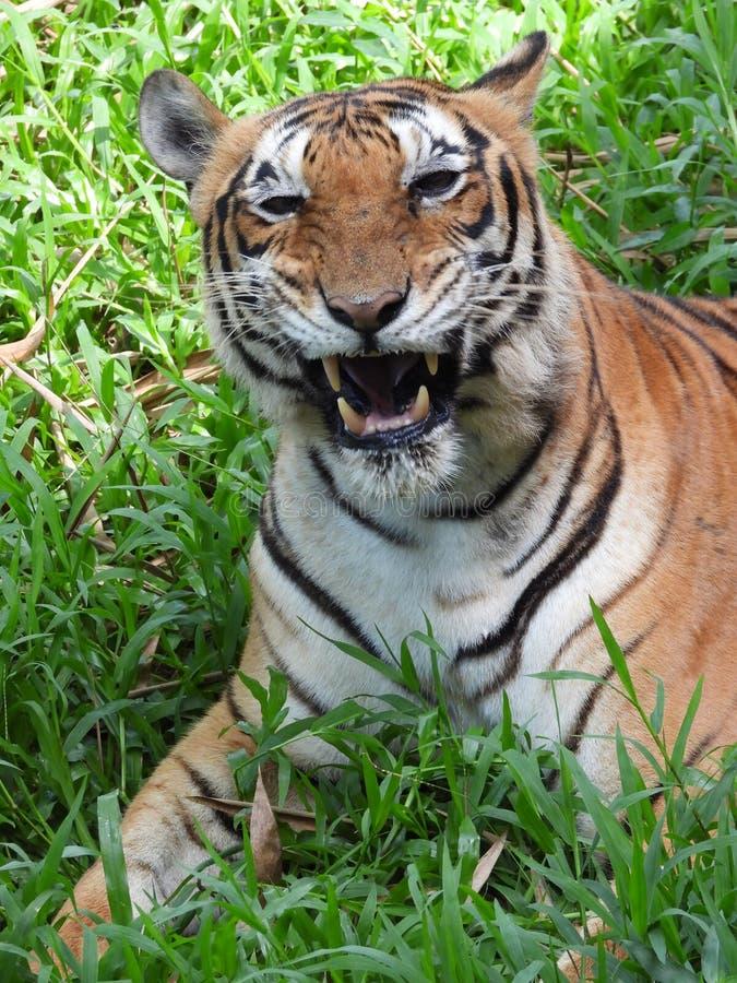 Tijger in de jungle stock fotografie