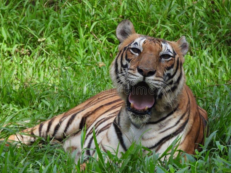 Tijger in de jungle royalty-vrije stock afbeeldingen