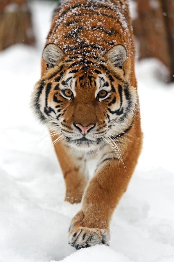 Tijger in de winter stock afbeelding