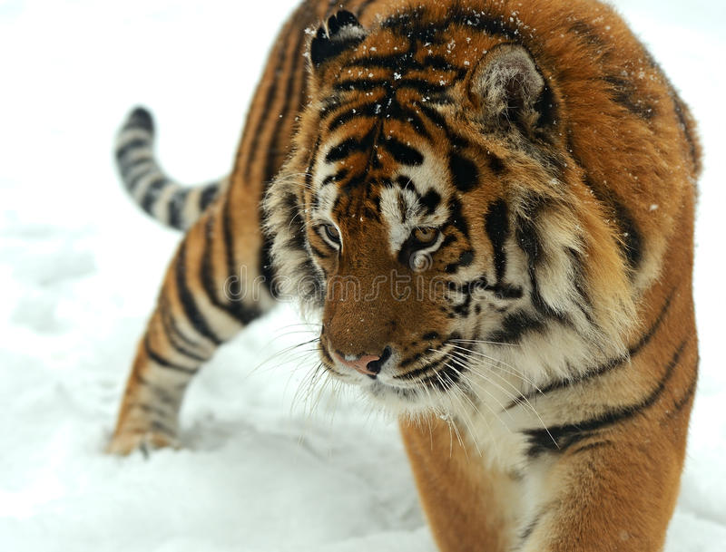 Tijger in de winter royalty-vrije stock afbeeldingen