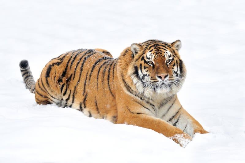 Tijger in de winter royalty-vrije stock foto