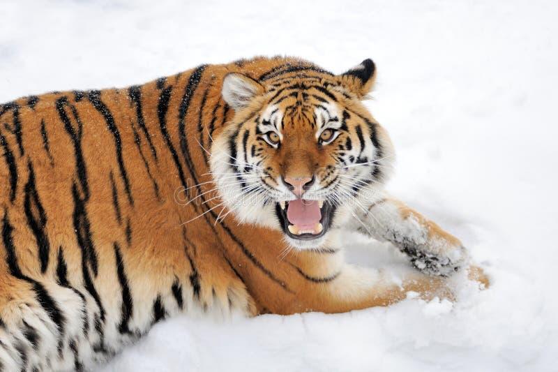 Tijger in de winter stock fotografie