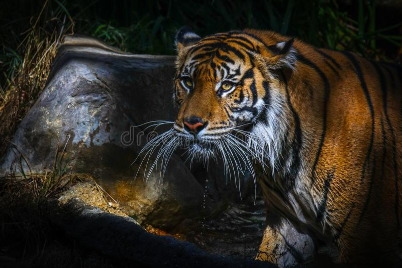 Tijger dichte omhooggaand na drinkwater royalty-vrije stock afbeeldingen