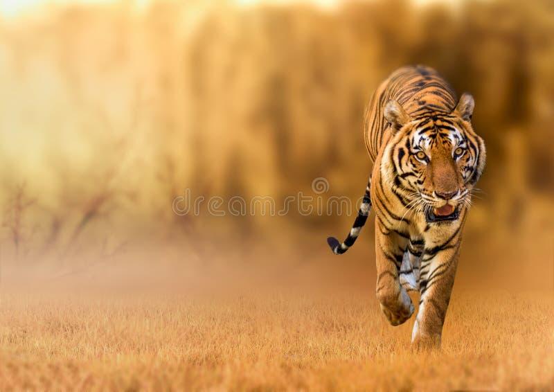 Tijger, die in het gouden licht de lopen is de wilde dierlijke de jachtzomer in hete, droge gebieden en mooie tijgerstructuren royalty-vrije stock foto's