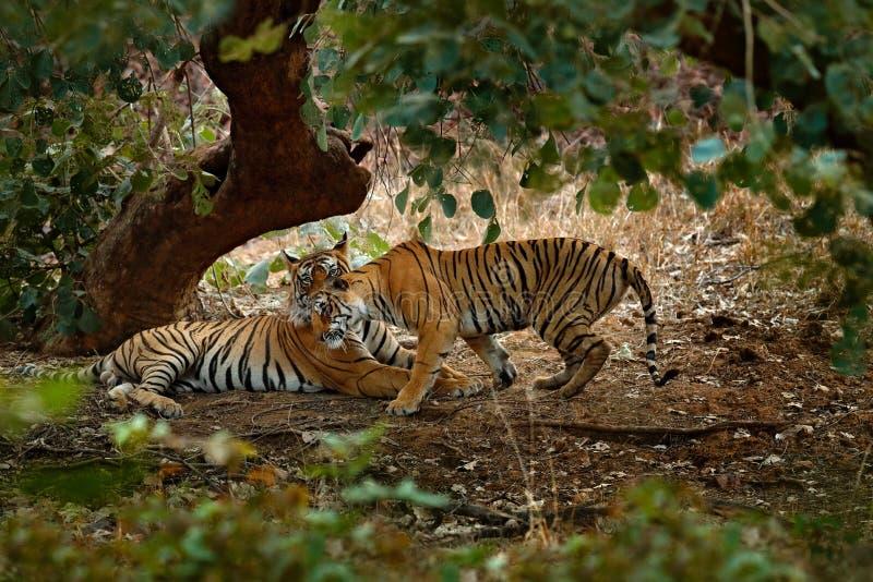Tijger die, kattengroet, groene vegetatie leggen Wild Azië Paar van Indische tijger, mannetje in linker, wijfje in recht, eerste  stock afbeelding