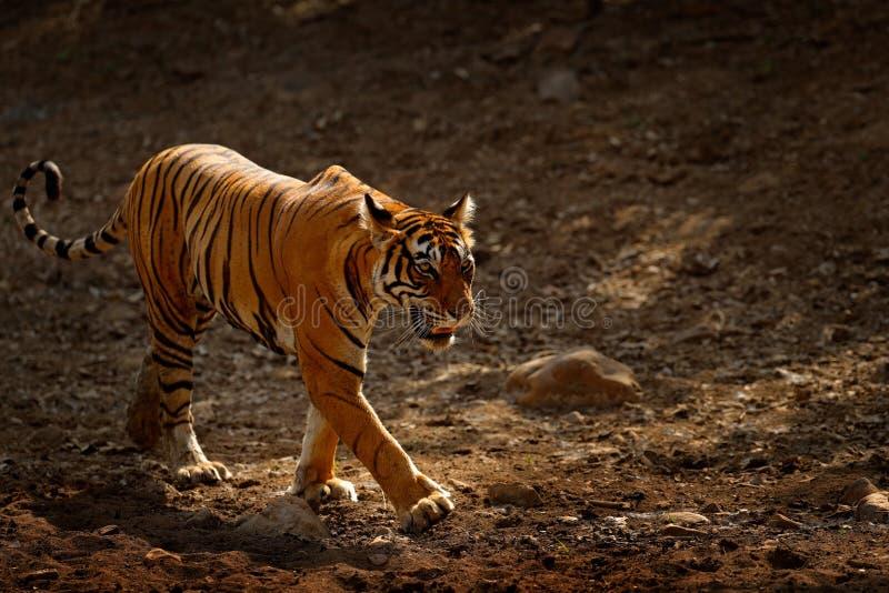 Tijger die op de grintweg lopen Indisch tijgerwijfje met eerste regen, wild dier in de aardhabitat, Ranthambore, India groot stock foto
