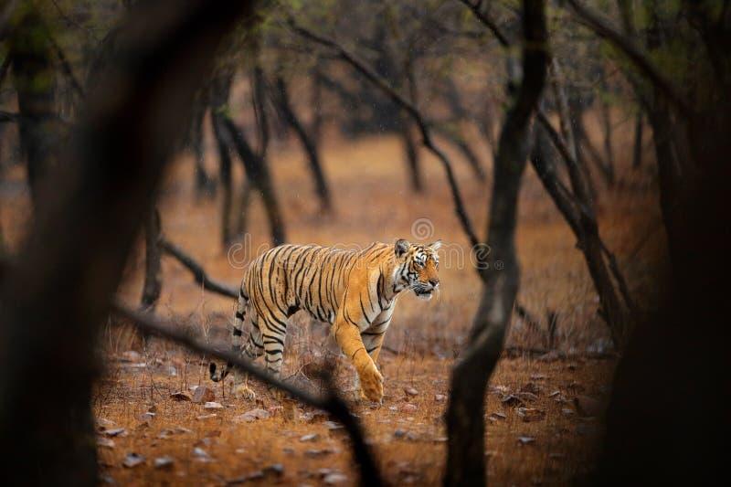 Tijger die in oude droge bos Indische tijger met eerste regen, wild gevaarsdier in de aardhabitat lopen, Ranthambore, India Groot stock afbeelding