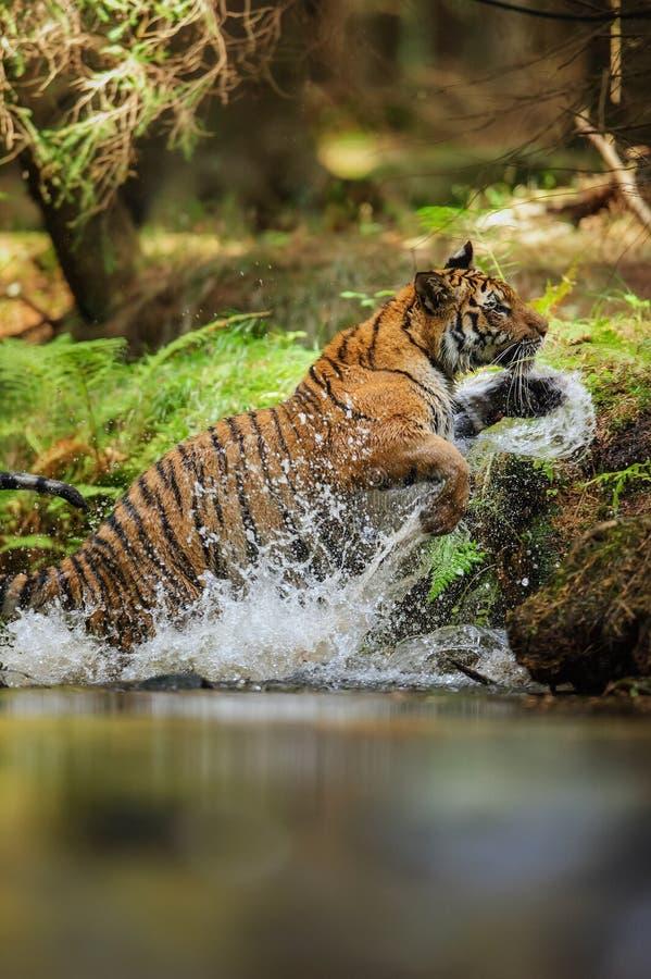 Tijger die uit rivier met het bespatten water rond dalingen springen Agressief en machtsdier De jacht en snelheid beweging royalty-vrije stock afbeeldingen