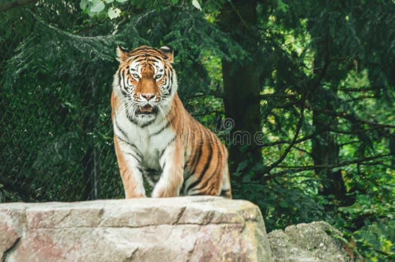 Tijger in een dierentuingevangene stock afbeeldingen