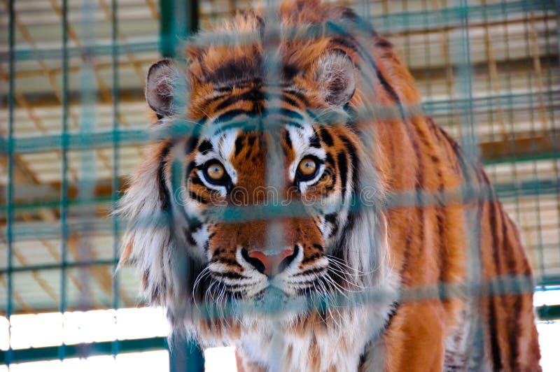 Tijger in een kooi in dierentuin royalty-vrije stock afbeelding