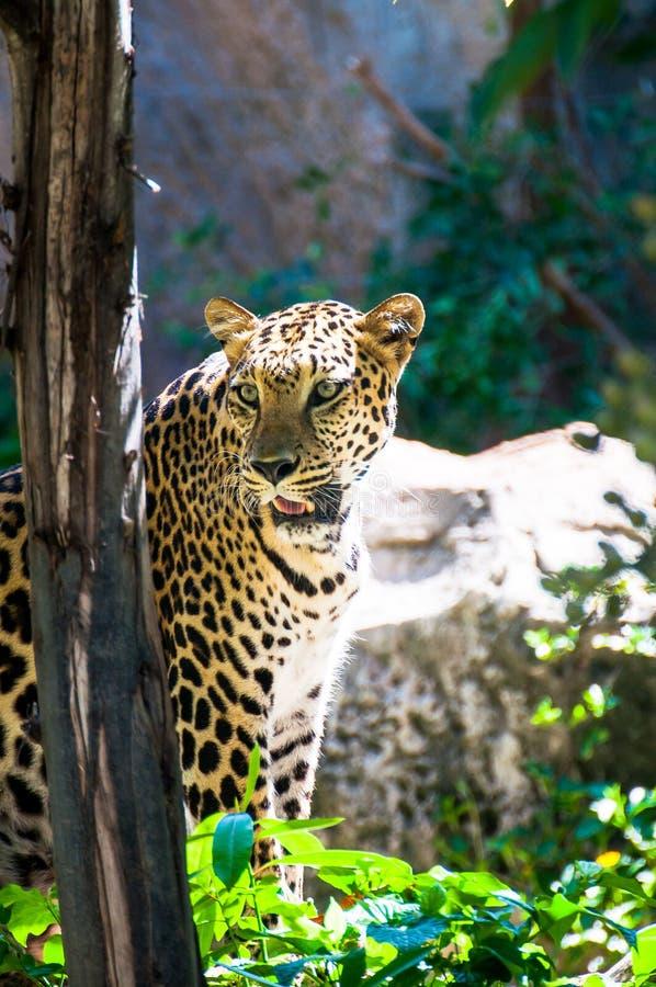 Tijger in een kooi in een dierentuin in Thailand een natuurlijke pasvorm was F stock foto