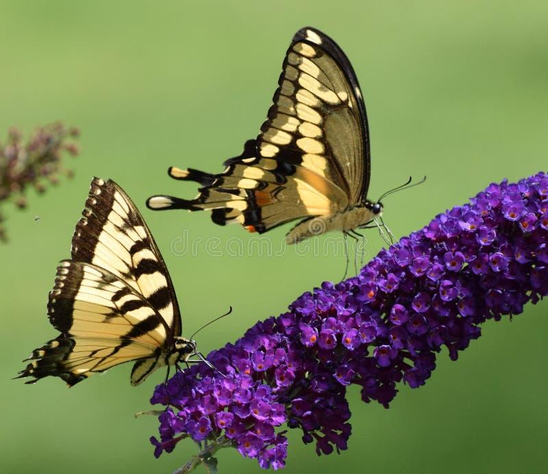 Tijger en reuzensliertjes op vlinder Bush stock fotografie