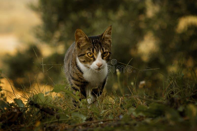 Tijger gekleurde kat die op de herfstgebieden lopen stock fotografie
