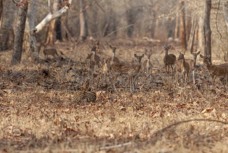 Tijger het besluipen op deers bij Tadoba-Maharashtra van de Tijgerreserve, India royalty-vrije stock afbeeldingen