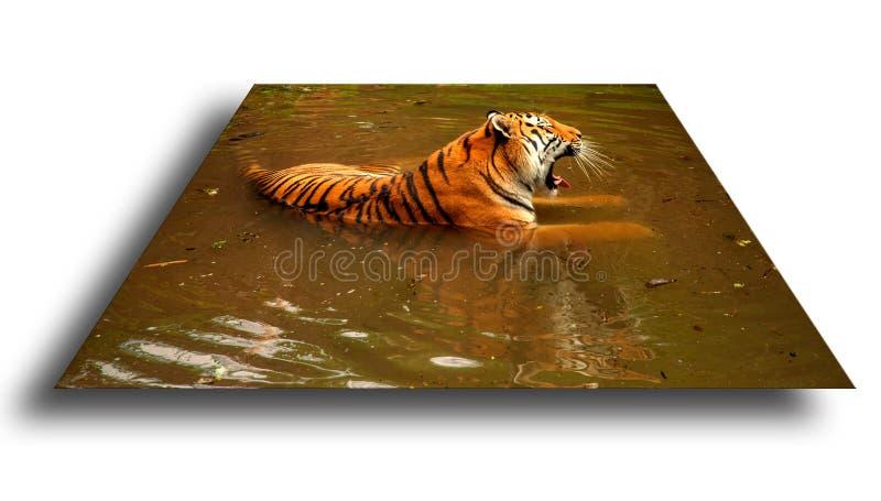 Tijger in het water stock foto's