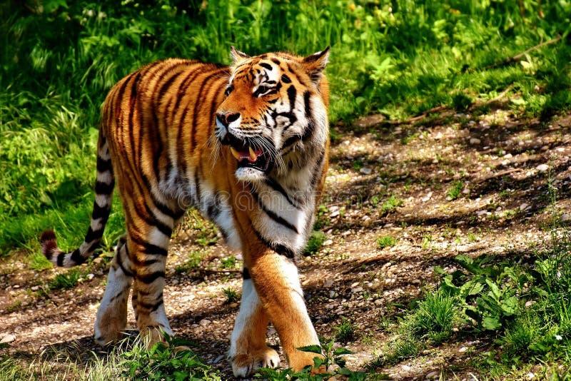 Tijger, Het Wild, Zoogdier, Aards Dier Gratis Openbaar Domein Cc0 Beeld