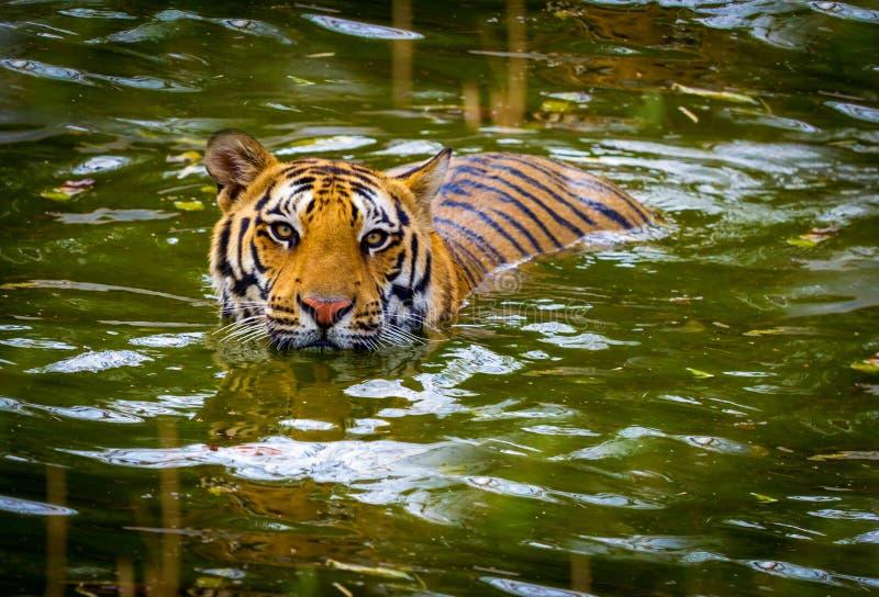 Tijger het zwerven wildernis royalty-vrije stock afbeeldingen