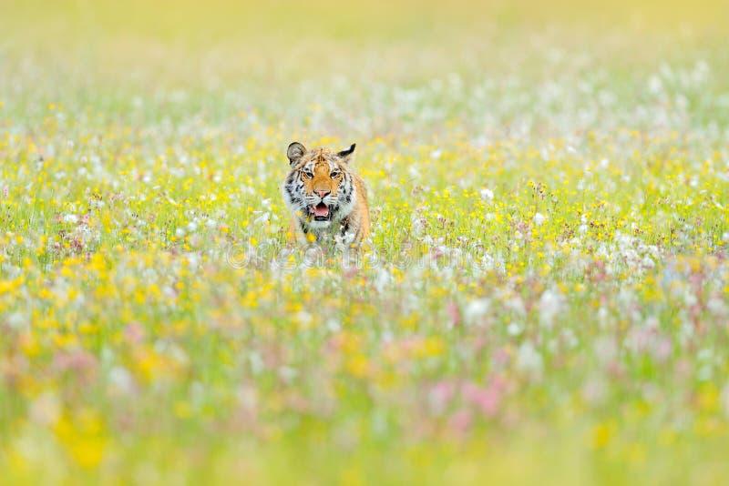 Tijger met roze en gele bloemen De zitting van de Amurtijger in het gras Gebloeide weide met gevaarlijk dier Het wild van Rusland royalty-vrije stock fotografie
