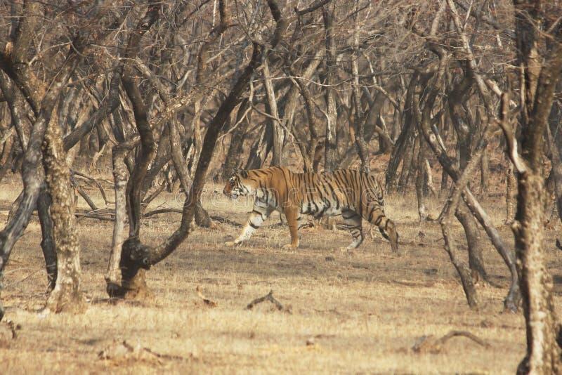 Tijger op wandeling, het Nationale Park van Ranthambore, India stock foto's