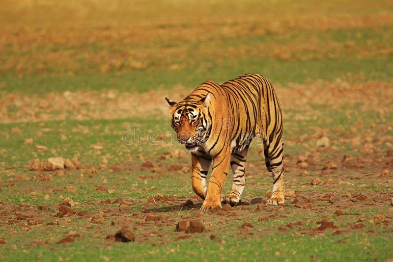 Tijger Pacman, Panthera Tigris, Ranthambhore Tiger Reserve, Rajasthan royalty-vrije stock fotografie