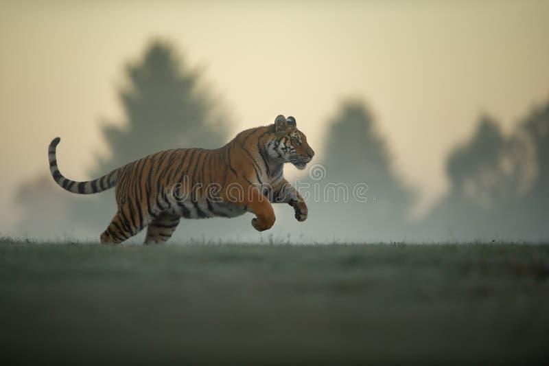 Tijger in sprong op ochtend Tijger profil in agressieve beweging Siberische tijger, altaica van Panthera Tigris stock fotografie