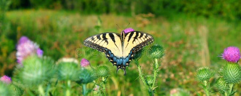 Tijger Swallowtail in Illinois royalty-vrije stock foto's