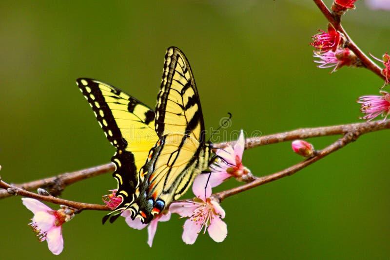 Tijger swallowtail op perzikbloesem royalty-vrije stock afbeeldingen