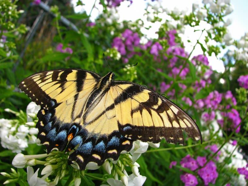 Tijger swallowtail vlinder die op een cluster van witte bloemen rusten royalty-vrije stock fotografie