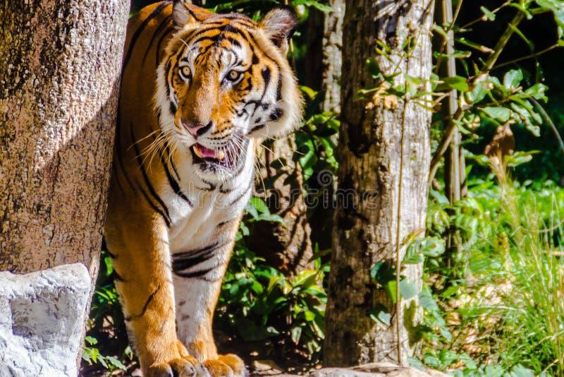 Tijger tussen Indië en China, of de tijger van Corbett ` s, stock fotografie