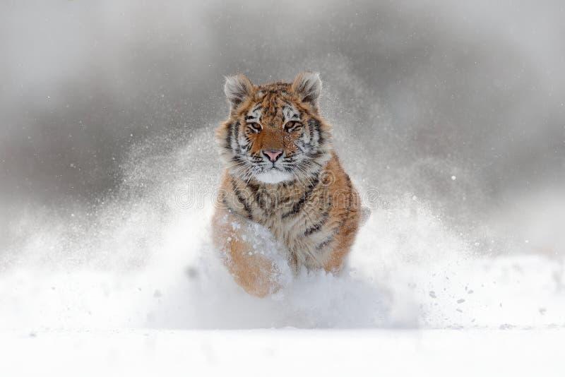 Tijger in wilde de winteraard Amurtijger die in de sneeuw lopen De scène van het actiewild met gevaarsdier De koude winter in taj stock foto