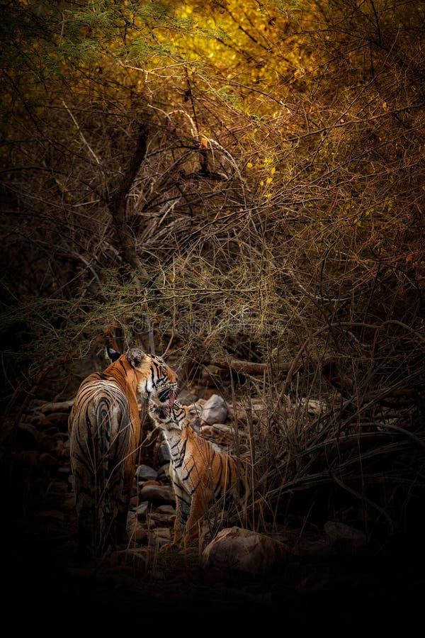Tijgerfamilie in een mooi licht in de aardhabitat van het Nationale Park van Ranthambhore royalty-vrije stock afbeeldingen