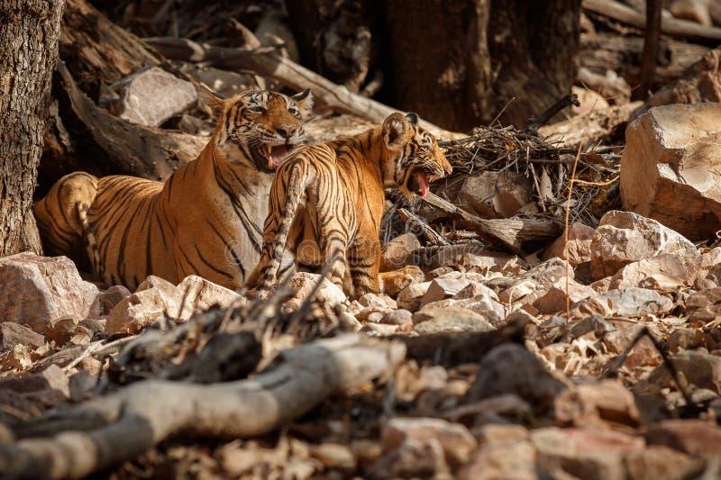 Tijgerfamilie in een mooi licht in de aardhabitat van het Nationale Park van Ranthambhore stock foto