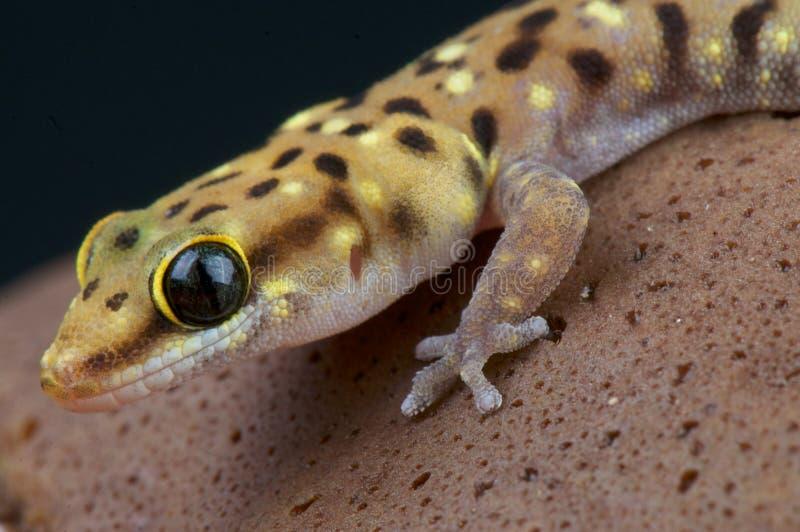 Tijgergekko/Pachydactylus-tigrinus royalty-vrije stock afbeelding