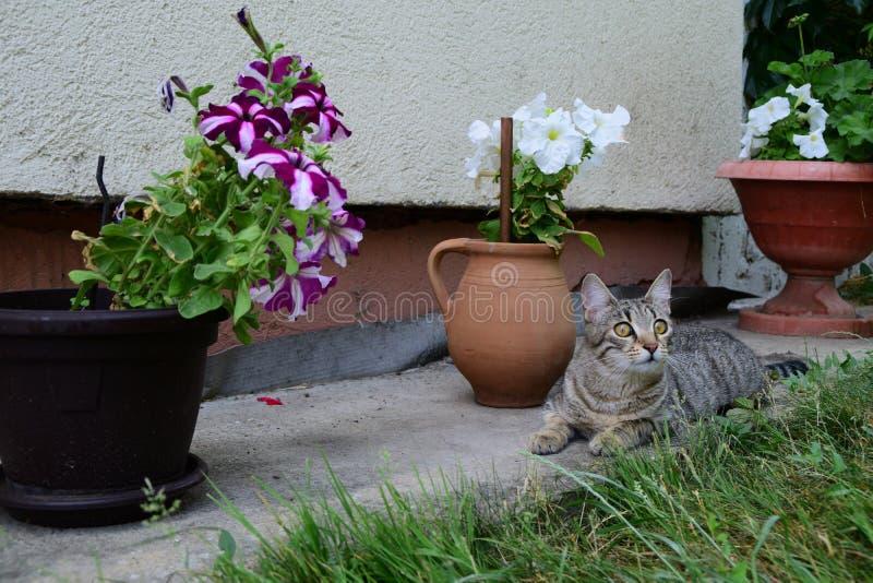 Tijgerkat die onder de potten van bloemen in de tuin, ingemaakte petunia liggen stock afbeeldingen