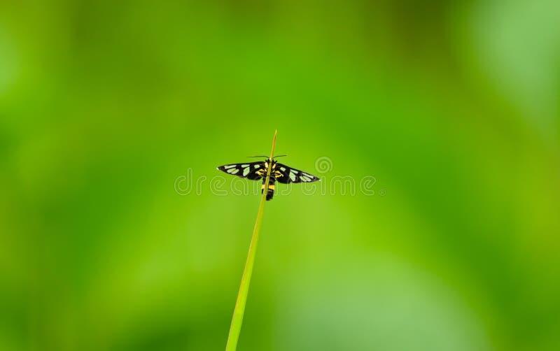 Tijgermot Amata SP roosting op een grasblad in het Nationale Park van Khao Yai, Thailand royalty-vrije stock foto's