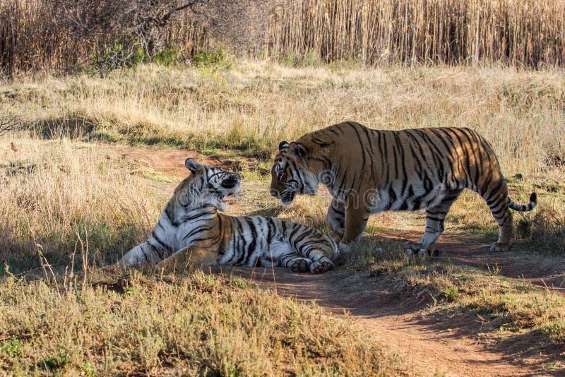 Tijgerpaar in spelreserve in Zuid-Afrika stock afbeelding