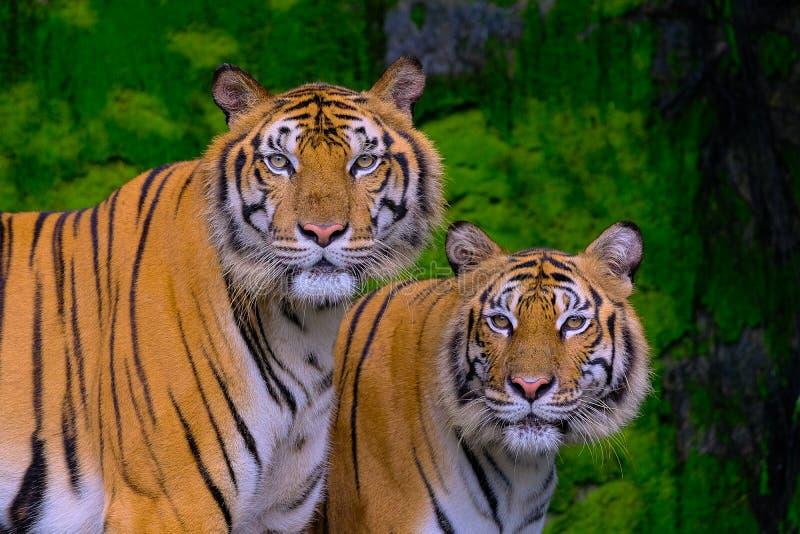 Tijgerportret van een tijger van Bengalen stock foto