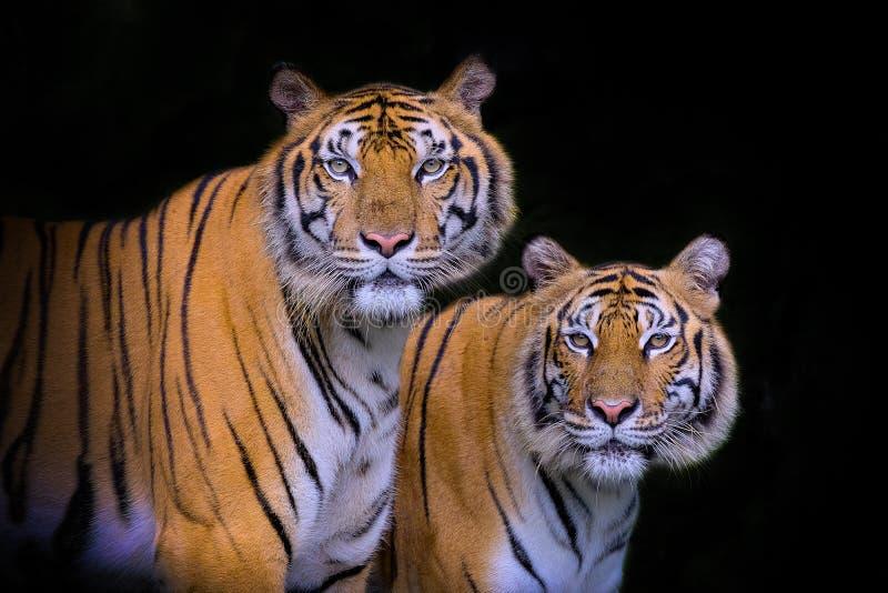 Tijgerportret van een tijger van Bengalen stock foto's